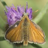 A skipper butterfly on a purple flower on southampton common royalty free stock photo