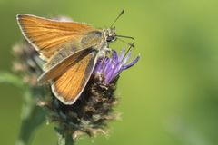 A skipper butterfly on Southampton Common stock photography