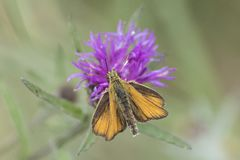 A skipper butterfly on Southampton Common royalty free stock images
