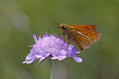 Skipper butterfly on Scabious bloom Royalty Free Stock Photo