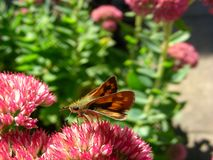Skipper Butterfly Sipping Nectar stock photography