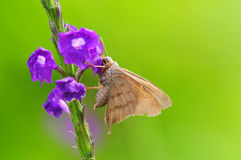 Skipper Butterfly Royalty Free Stock Photography