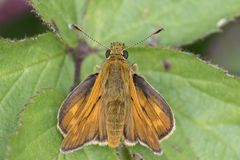 A skipper butterfly on Southampton Common royalty free stock photo