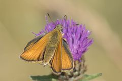 A skipper butterfly on Southampton Common stock images