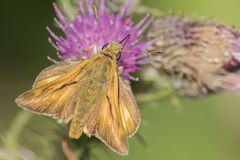 A skipper butterfly on Southampton Common stock photo