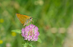 Skipper butterfly sucking nectar on flowering wild clover Royalty Free Stock Image