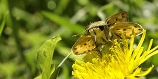 Skipper butterfly sucking yellow flower from front Stock Photo