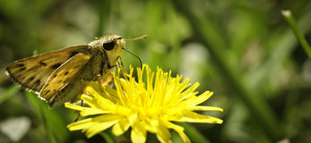 Skipper butterfly sucking yellow flower from side Stock Photo