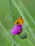 Skipper butterfly on Thistle wildflower Stock Image