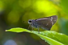 Hesperiidae little butterfly royalty free stock photo