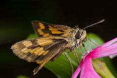 Skipper butterfly on a vinca flower Royalty Free Stock Image