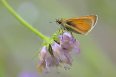 Skipper (butterfly) Royalty Free Stock Image