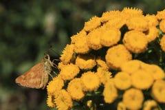 Skipper Butterfly on Yellow Flowers. A skipper butterfly rests on yellow flowers Stock Photography