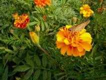 Skipper on Calendula flower Royalty Free Stock Photography