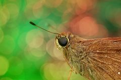 Skipper, Close Up, Macro, Butterfly Stock Photo