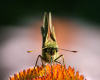 Skipper on Coneflower Royalty Free Stock Photography
