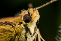 A skipper covered in dewdrops Stock Images