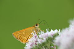 Skipper on a flower Royalty Free Stock Photography