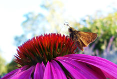 Skipper on flower Royalty Free Stock Images