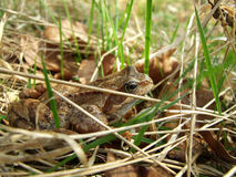 Skipper frog in grass Royalty Free Stock Images