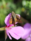 Skipper on a Geranium Royalty Free Stock Images