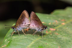 Skipper (Hesperiidae) butterflies mating Royalty Free Stock Image
