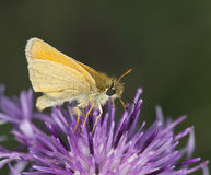 Skipper (Hesperiidae) feeding on thistle Stock Photos