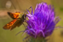 Skipper - Hesperiidae - Thistle Royalty Free Stock Photography