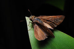 Skipper On A Leaf Royalty Free Stock Photos