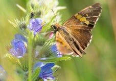 Skipper les terres sur l'Echium vulgaris pour boire du nectar image stock
