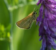 Skipper on a Lupine stock photos