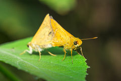 Skipper Moth Stock Image