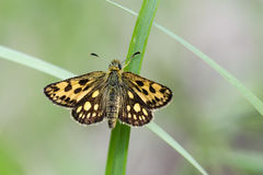 Skipper. Northern chequered skipper Carterocephalus silvicola. Female. Close up Royalty Free Stock Photos