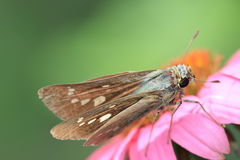 Skipper on a pink flower Royalty Free Stock Images