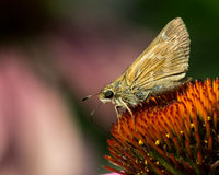 Skipper on Purple Coneflower Royalty Free Stock Photography