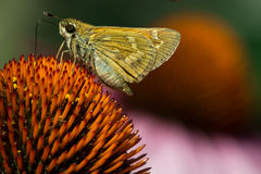 Skipper on Purple Coneflower Stock Image