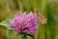Skipper rests on a red clover flower head Stock Photo