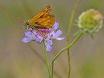 Skipper on scabious. Nature macro.Ochlodes sylvanus. Royalty Free Stock Images