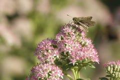 Skipper. The skipper& x28;Scientific name:Leptalina unicolor& x29; feeds nectar of Sedum spectabile Stock Photos