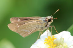 Skipper on a white flower Royalty Free Stock Images