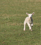 Skipping Baby Lamb. Royalty Free Stock Images