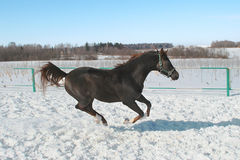 Skipping horse. Dark horse jumps in the winter royalty free stock photography