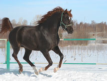 Skipping horse. Dark horse jumps in the winter royalty free stock images