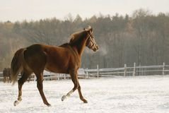 Skipping horse in winter royalty free stock images