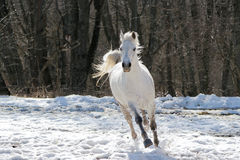 Skipping white horse. On a background of a wood Royalty Free Stock Photography