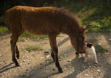 Skirian horse and a cat, Skiros, northern Sporades, Greece. Image of Scirian animals, Scirian island, Greece Stock Images