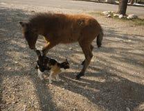 Skirian horse and a cat, Skiros, northern Sporades, Greece. Image of Scirian animals, Scirian island, Greece Royalty Free Stock Photo
