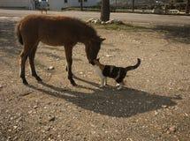 Skirian horse and a cat, Skiros, northern Sporades, Greece. Image of Scirian animals, Scirian island, Greece Stock Photo