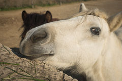 Skirian horses, Skiros, northern Sporades, Greece. Image of skirian horses, Skiros, northern Sporades, Greece Stock Image