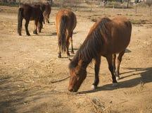 Skirian horses, Skiros, northern Sporades, Greece. Image of skirian horses, Skiros, northern Sporades, Greece Stock Photography
